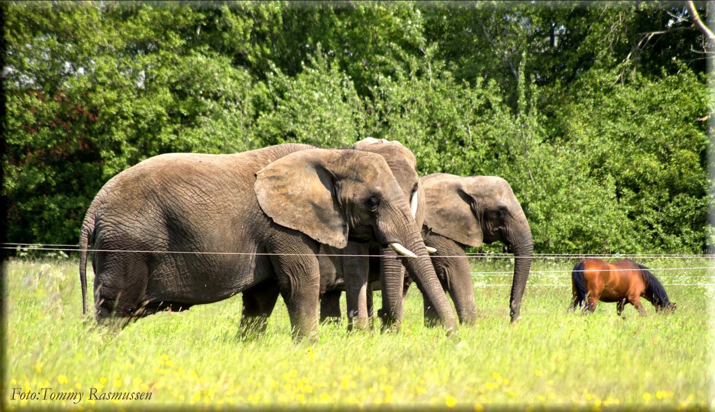 elefanter 3
