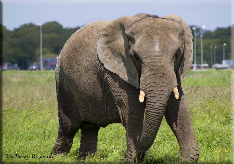elefanter 4